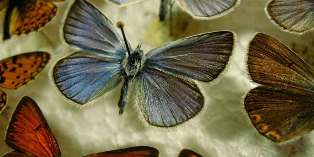 Butterflies Pinned